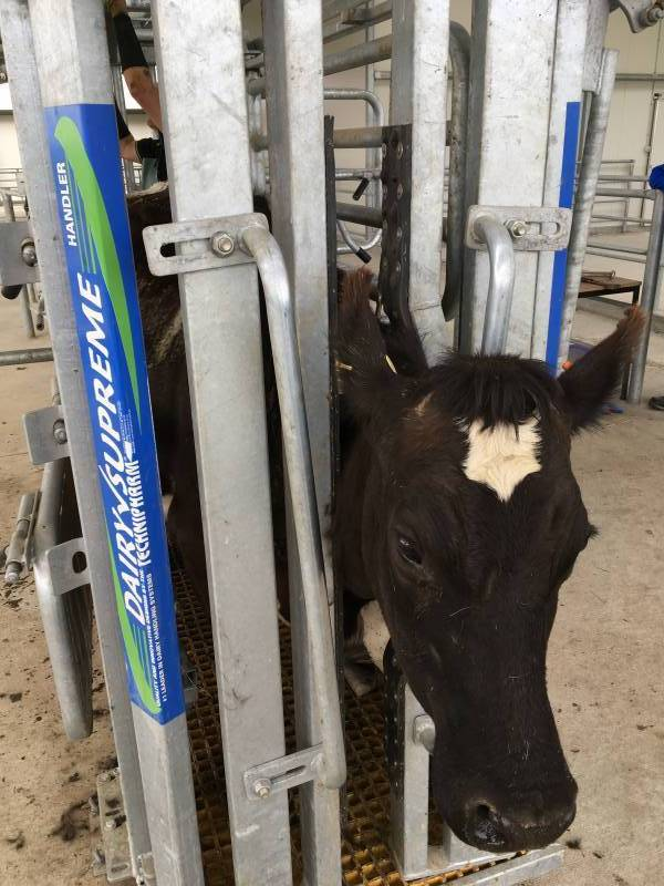 Medium Size Dairy Handler(tm) Headbail
