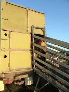 Loading Ramps - Adjust-a-bull