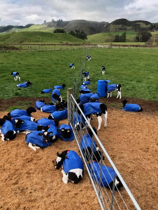 Happy Calves